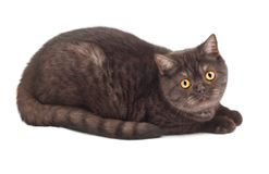 British chocolate cat Stock Photography