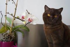 British chocolate short hair cat royalty free stock photos