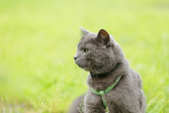 British chorthair cat looking in the field. Close up royalty free stock image