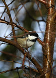 British Coal Tit Royalty Free Stock Images