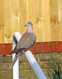 British collared dove garden bird Royalty Free Stock Image