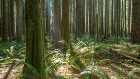 British Columbia Forest. Lush green forest scene from golden ears provincial park in british columbia, canada Royalty Free Stock Image