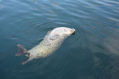 British Columbia Gray Harbour Seal. Harbor or Common seal surfacing in the waters of British Columbia Canada stock photo