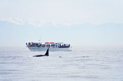 British Columbia Whale Watching Royalty Free Stock Photos