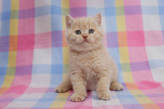 British cream kitten. British cream kitten, arrogant opinion Royalty Free Stock Photography