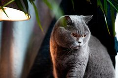 British discontented cute cat. Concept of animals or pets personalities. British discontented grey cute cat. Concept of comfort and cozy winter time. hibernation stock photography