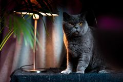 British discontented cute cat. Concept of animals or pets personalities. British discontented grey cute cat. Concept of comfort and cozy winter time. hibernation royalty free stock image