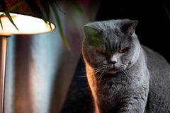British discontented cute cat. Concept of animals or pets personalities. British discontented grey cute cat. Concept of comfort and cozy winter time. hibernation stock images