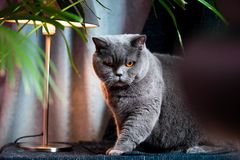 British discontented cute cat. Concept of animals or pets personalities. British discontented grey cute cat. Concept of comfort and cozy winter time. hibernation royalty free stock images