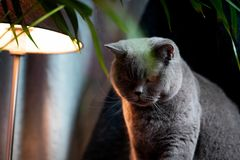 British discontented cute cat. Concept of animals or pets personalities. British discontented grey cute cat. Concept of comfort and cozy winter time. hibernation royalty free stock photos