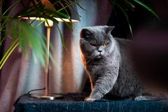 British discontented cute cat. Concept of animals or pets personalities. British discontented grey cute cat. Concept of comfort and cozy winter time. hibernation royalty free stock photo