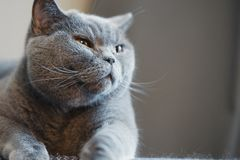 British discontented cute cat. Concept of comfort and cozy winter time. Hibernation royalty free stock photo