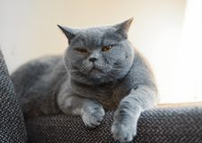 British discontented cute cat. Concept of comfort and cozy winter time. Hibernation. Britich cats personality royalty free stock images