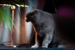 British discontented yawning cute cat. Concept of animals or pets personalities. British discontented yawning grey cute cat. Concept of comfort and cozy winter stock photography