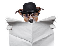 British dog reading. A big blank newspaper Stock Photography