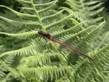 British Dragonfly and Damselfly with long red stripy body uk Stock Image