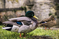 British Duck. Closeup of a male mallard duck walking on the grass with a female mallard duck, with a background of an old bridge in stones in Oxford, England Stock Photo