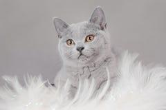 british figlarki shorthair Zdjęcie Stock