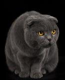 British fold cat on black background. Royalty Free Stock Photography