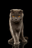 British Fold Cat Funny Stands on Black Mirror Stock Photo