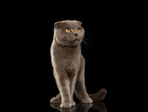 British Fold Cat Funny Stands on Black Mirror Royalty Free Stock Photography