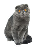 British Fold cat Stock Images