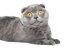 British Fold cat Stock Photos