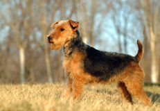 British Fox Terrier Stock Images