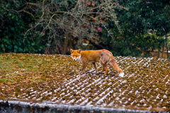 British Fox Vulpes Vulpes walks along a roof in a London subur. An alerted fox vulpes vulpes walks across a roof in Forest Hill, a suburb in London, Britain Royalty Free Stock Images
