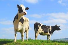 British Friesian cow against blue sky. Grazing on a farmland in East Devon, England Royalty Free Stock Image