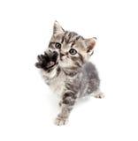 british ger den gråa kattungen tafsar skott Arkivfoto