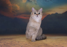 British golden cat walking in the desert Royalty Free Stock Image