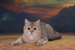 British golden cat walking in the desert Royalty Free Stock Photo