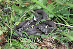 British grass snakes. Basking in a sunny, sheltered position royalty free stock photography