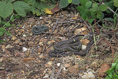 British grass snakes Stock Images