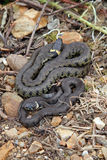 British grass snakes. Basking in a sunny, sheltered position stock images