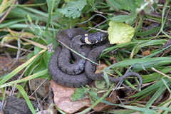 British grass snakes. British grass snake basking in a sunny, sheltered position stock image