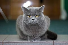 British gray beautiful cat Royalty Free Stock Images
