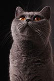 British gray cat. Snout of British gray cat with yellow eyes closeup Royalty Free Stock Photography
