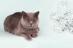 British gray cat and balloons on light blue background. Birthday Cat Party