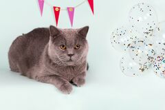 British gray cat and decoration on wall, balloons on light blue background. Birthday Cat Party