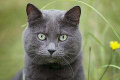 British gray cat in the grass Stock Photography