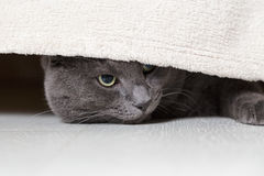 British gray cat looking from under bed Stock Images
