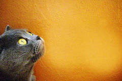 British gray cat looking up on a bright orange background. Yellow eyes. Portrait of serious kitten. Lovely. Orange background. British gray cat looking up on a Royalty Free Stock Image
