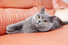 British Gray Cat Lying On A Red Couch Royalty Free Stock Image