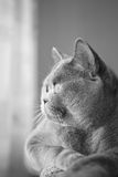 British gray cat lying in the window. Closeup Royalty Free Stock Photography