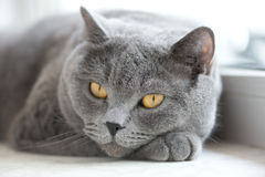 British gray cat lying on the window Stock Images