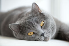 British gray cat lying on the window, closeup. Horizontal Stock Photography