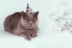 British gray cat in party hat polka-dot and balloons on light blue background. Birthday Cat Party