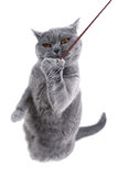 British gray cat playing with a thread. On a white background Royalty Free Stock Photo